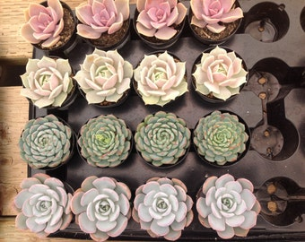 Succulent plant listing, 12 gorgeous succulents for weddings, parties or container gardens. Make beautiful favors for any occasion.