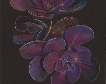 Print of an original pastel drawing of a violescens succulent