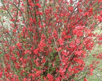 "CHAENOMELES SPECIOSA ""SPITFIRE"" ""Spitfire"" Flowering Quince"