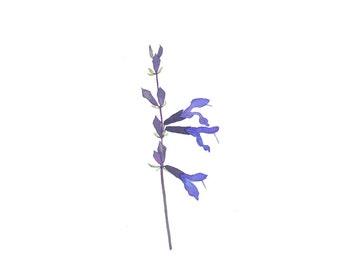Black and Blue Salvia Original Watercolor Botanical Flower Painting