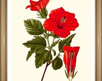 "Hibiscus Print #1. Botanical Print. Red Flower Print.  8x10"" 11x14"""