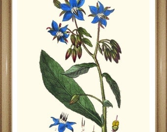 "Botanical Print. Wildflower print.  Blue Flower Print, Borage. 5x7"", 8x10"" 11x14"""