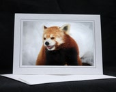 Red Panda Portrait, photo greeting card, wildlife photography, Nature, upstate NY, any occasion,