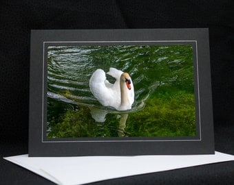 Male Mute Swan, photo greeting card, wildlife photography, Nature, upstate NY, any occasion,