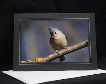 Tufted Titmouse Looking Cute, photo greeting card, wildlife photography, Nature, upstate NY, any occasion,