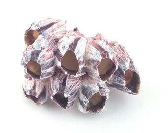 """purple 3-5"""" barnacle cluster"""