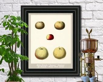 Apples antique botanical print Vintage Apples illustration Kitchen wall art  0430