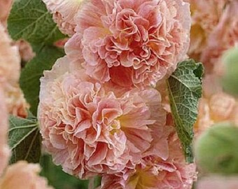 Salmon Double Hollyhock Flower Seeds / Alcea / Perennial  30+