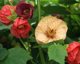 Abutilon Bellvue Mix Flower Seeds / Hybridum / Perennial   30+
