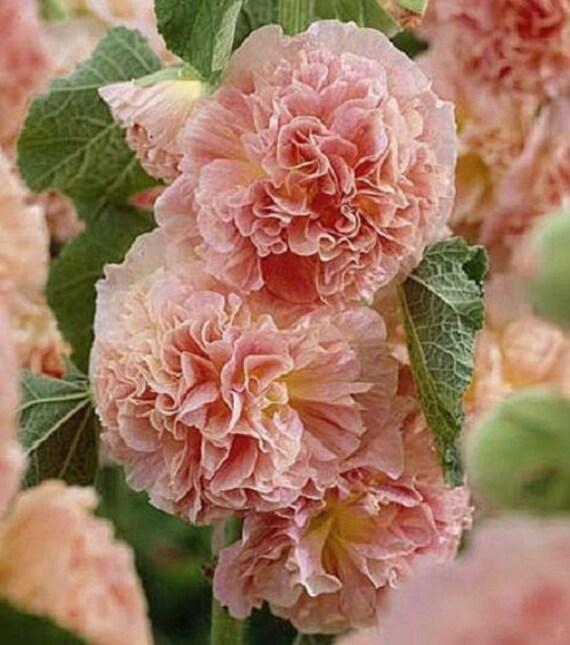 Salmon Double Hollyhock Flower Seeds / Alcea / Perennial 30