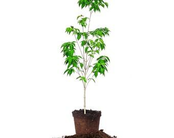 WHITE DOGWOOD Size: 3-4 ft live tree