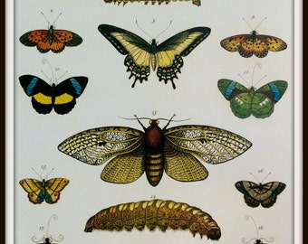 Butterflies Book Print - Cabinet of Curiosities - Ready to Frame