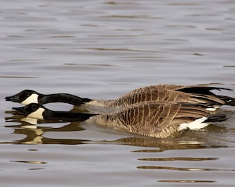Canada Geese, goose, geese, Nature, photo, print, photography, wall art, home decor