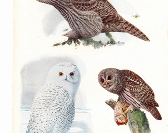 From the book Birds of America this two side bookplate has Barn Owl on one side and the Great Gray Owl and Snowy Owl on the back.