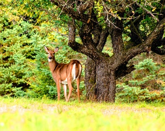 Whitetail Deer, Adirondack Wildlife, Nature Photograph, Adirondack Park, Wildlife Photo, Deer Photography, Whitetail Photo, Doe and Tree