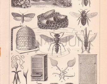Antique Bee and Wasp Print - Antique Insect Lithograph featuring various pollinating insects from 1890
