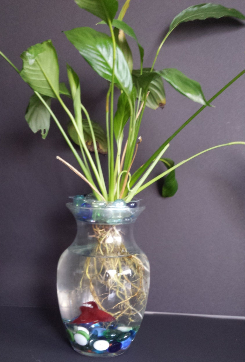Flower vase with fish - Beta Fish Tank With Live Peace Lily Symbiotic Kit