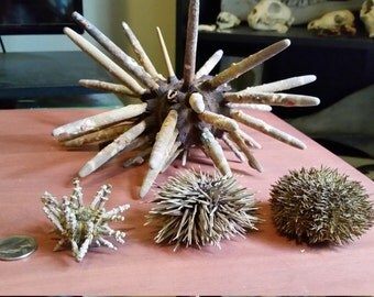 Collection of Real Sea Urchins with Spines (Large)