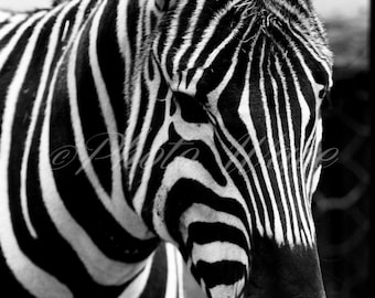 ZEBRA ANIMALsoul: black & white fine art photography, fine art, nature photography, wonderfull nature, animals