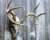Deer Skull and Antlers Wall Decor  Ready to Hang Authentic European Mount