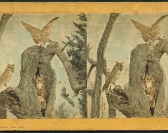 Long Eared Owl - Hurst - 1870 Taxidermy - Hand Colored Stereoview