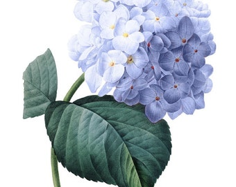 Vintage French Blue Hydrangea Printable Digital Image: Commercial Use - Image No. R63 Instant Download