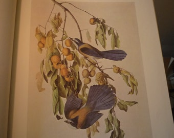 Vintage - Florida Jay - Audubon Color Plate from 1829 painting   - gift for birders - nature lovers oversized 13 by 10.5