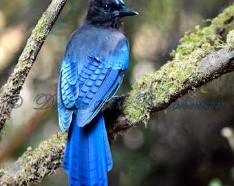 Stellars Jay - Bird Photography - Bird Decor - Blue Jay Art - Blue Jay Gifts - Blue Birds