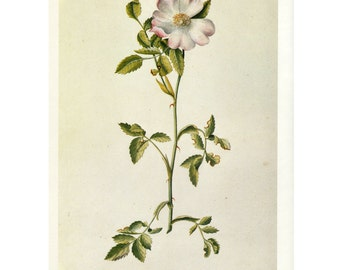 Rosa by Ehret Vintage Book Plate ~~Buy 3, get 1 Free