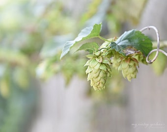 pretty autumn hops -fall photography - autumn - garden photo- hops on fence - hops(5 x 7 Original fine art photography prints) FREE Shipping