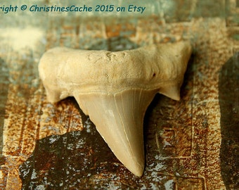 Awesome stocking stuffer... Extra Large SHARK Tooth from Morocco for Wire Wrapping, Collecting - Lamna Fossil Teeth - Grade A - LST-L