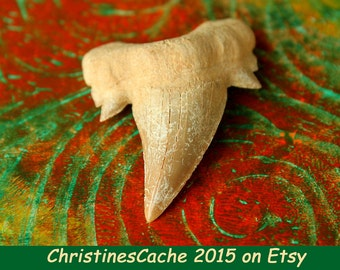 Jumbo GIGANTIC SHARK Tooth Fossil from Morocco - Shark Teeth Stocking Stuffer, Guy Gift, men gift, Kids gift, fun - LST-J