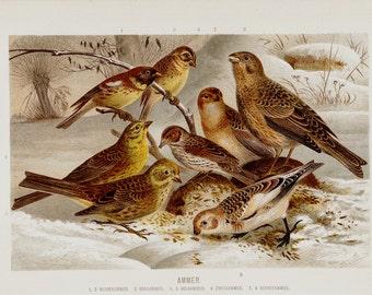 Antique print 1890 Antique BIRD print, original antique fine sparrow, lovely songbirds in the snow,