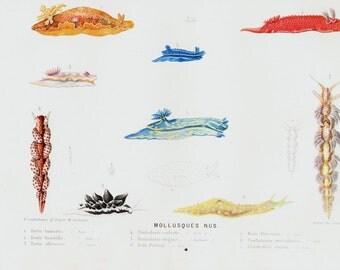 Antique print, 1880 Antique mollusk print, sea snail, naked molluscs