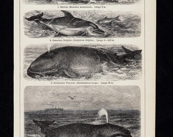Antique print,  1893 WHALE , whales, dolphin, narwhal, old nice lithograph