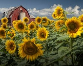 Golden Sunflowers with Red Barn against a Cloudy Blue Sky in a Field near Rockford Michigan No.067 Fine Art Yellow Flower Photography
