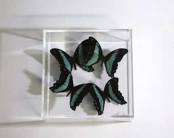 Phorcas 7x7 panel with real butterflies