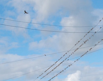 Birds on a Wire, Swallows1, line of birds in blue sky with white clouds, 8 x 10 photograph print, birds on a line, telegraph wires