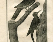 1803  Birds  Print, Le Pic Noir, L'Epeche, Woodpeckers, Original Antique Engraving  from Buffon Natural History