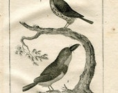 1803 Birds Print, Le Tamatia, Le Barbu, Puffbirds Original Antique Engraving  from Buffon Natural History