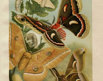 Vintage Print Silkmoths,  Original Color Lithograph Insects, Entomology, Home Decor Wall Hanging