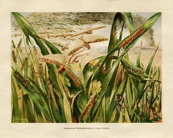 1920s Vintage Insects Print, Locusts Color Lithograph Grasshoppers, Brehm