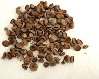 Natural Woodland Mix of Oak Acorn Caps, Acorns and Hemlock Cones Rustic Fall Decor and Crafting from Pennsylvania 100 pcs