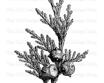 Yellow Cedar Tree Branch Leaves Cones Botanical Clip Art Illustration Digital Download PNG JPG Image