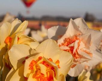 Daffodils - 11 X 14 Print