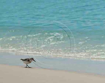 Beach Photo, Sanderling Shore Bird Photography, Florida Gulf Coast 30A Sand Piper Stroll on Sand, Beachy Walk Shoreline Cornflower Aqua Blue