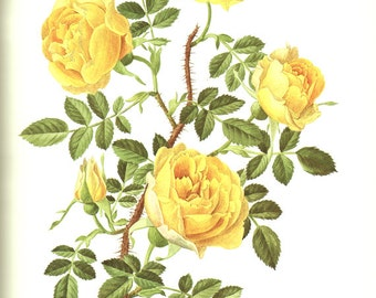 1985 Vintage yellow Rose poster Rosa Foetida Persiana Yellow rose art vintage botanical art botanical poster Yellow Floral print Rose decor