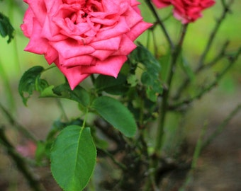Fairytale Fuchsia Roses - Enchanted Forest Photo Print - Size 8x10, 5x7, or 4x6