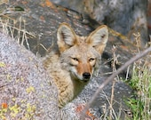 Coyote Art, wildlife photography, nature wall art, wild animal photography, rustic fall decor, fine art print