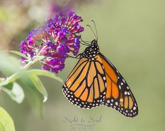 Nature Photography, monarch butterfly art, country home décor, butterfly on purple flowers, fine art print